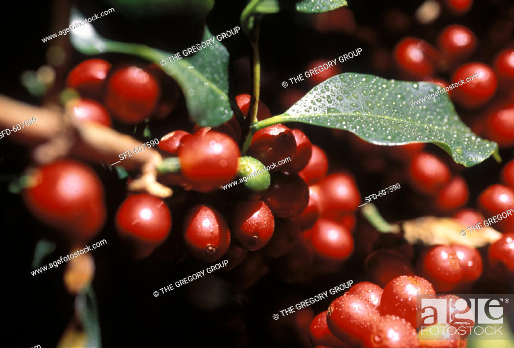 Close Up Of Coffee Beans At The Branch With Water Droplets