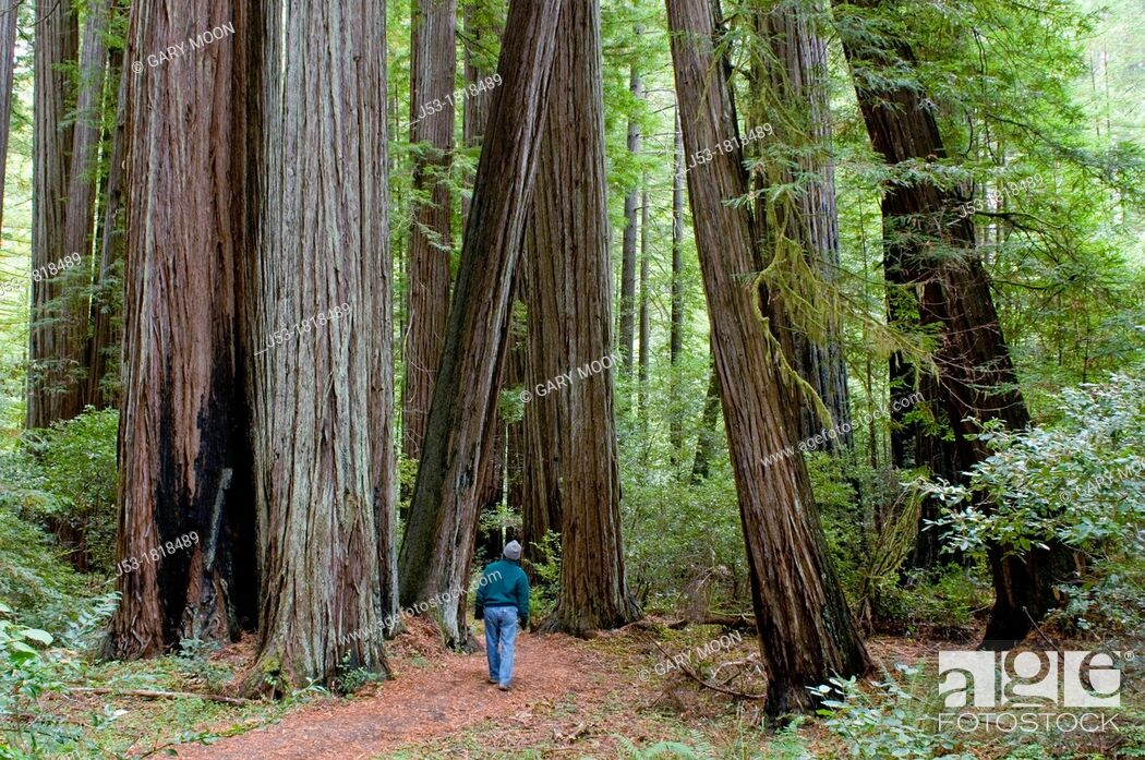 Stock Photo: Hiker on Bull Creek Trail North through old growth coast redwood forest, Rockefeller Grove, Humboldt Redwoods State Park, Humboldt County, California.