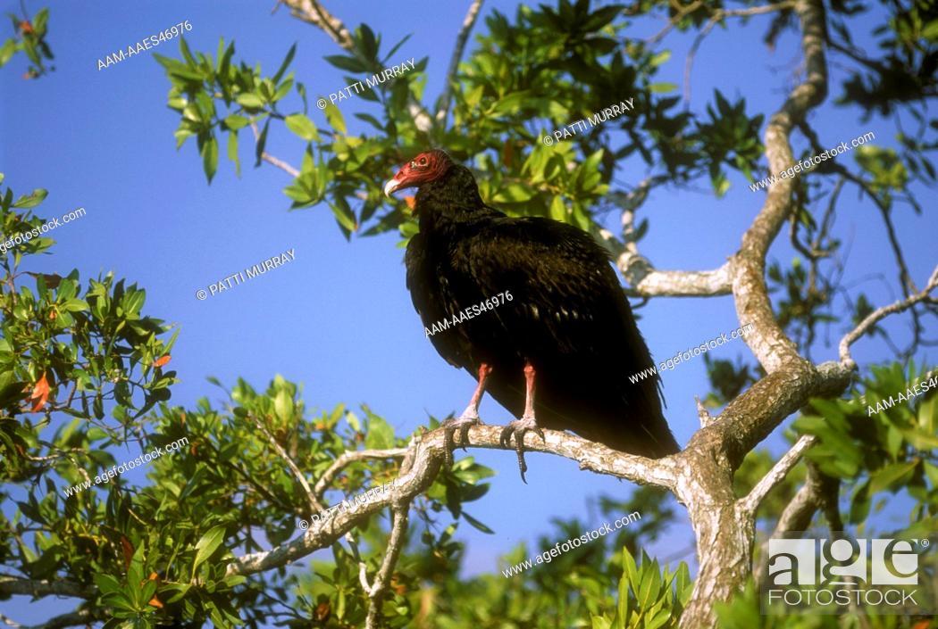 Stock Photo: Turkey Vulture in Buttonwood Tree (Cathartes aura), Everglades N.P., FL, Florida.