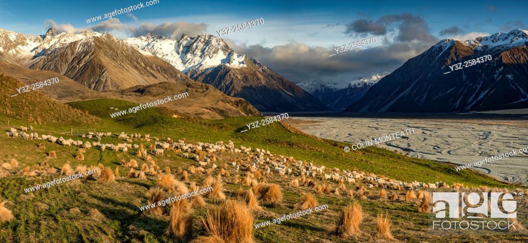 Imagen: Sheep grazing in tussock grass pasture, panorama, Reishek mountains, head of Rakaia river valley, Canterbury.