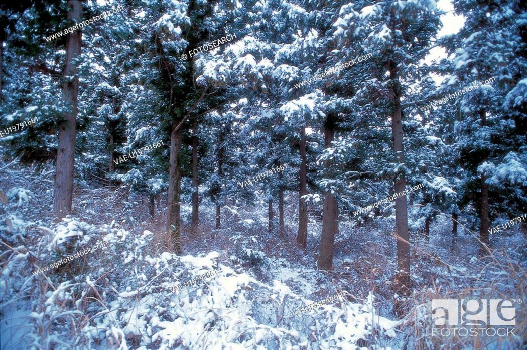 Stock Photo: season, scenery, grove, tree, snow, winter, nature.
