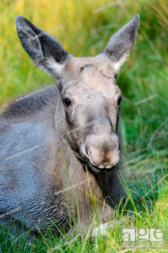 Stock Photo: young moose lying on a meadow.