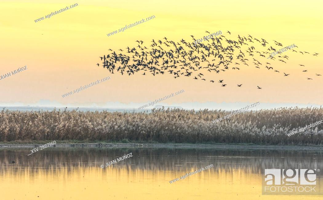 Stock Photo: Common side moritos (Plegadis falcinellus) flying over the Reedbeds at dawn. Doñana Natural Park. Seville. Andalusia. Spain.