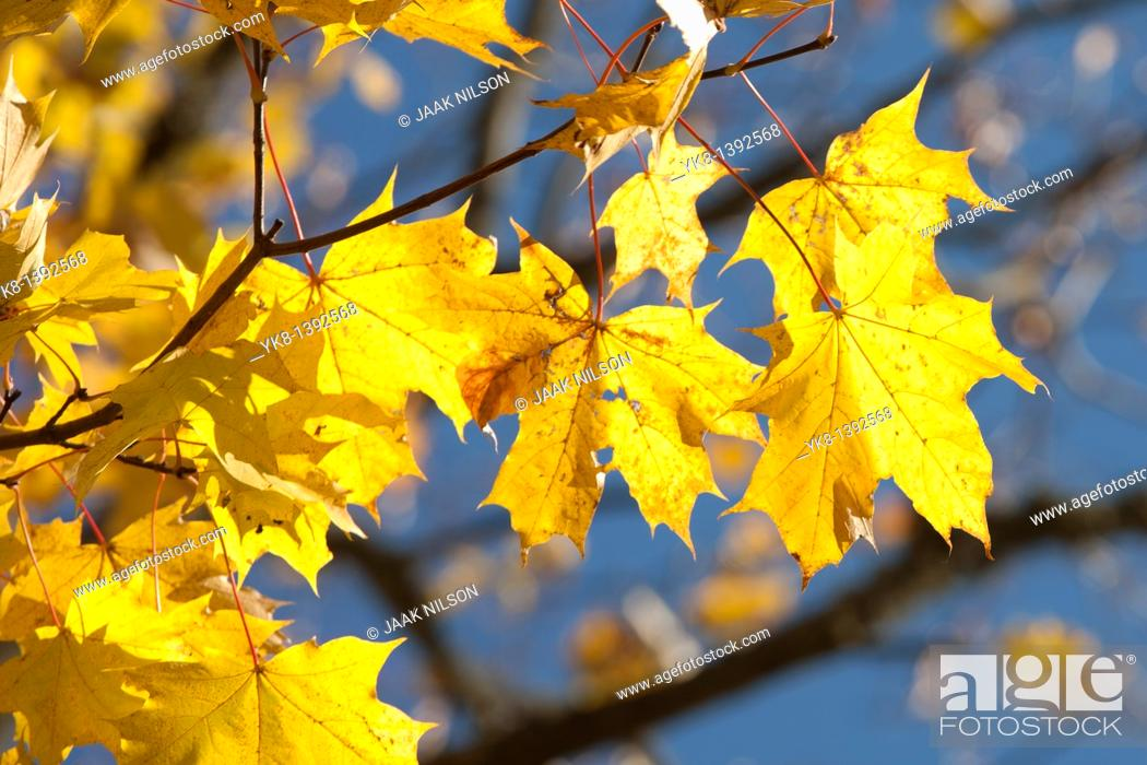 Stock Photo: Close-Up of Yellow Leaves in Fall.