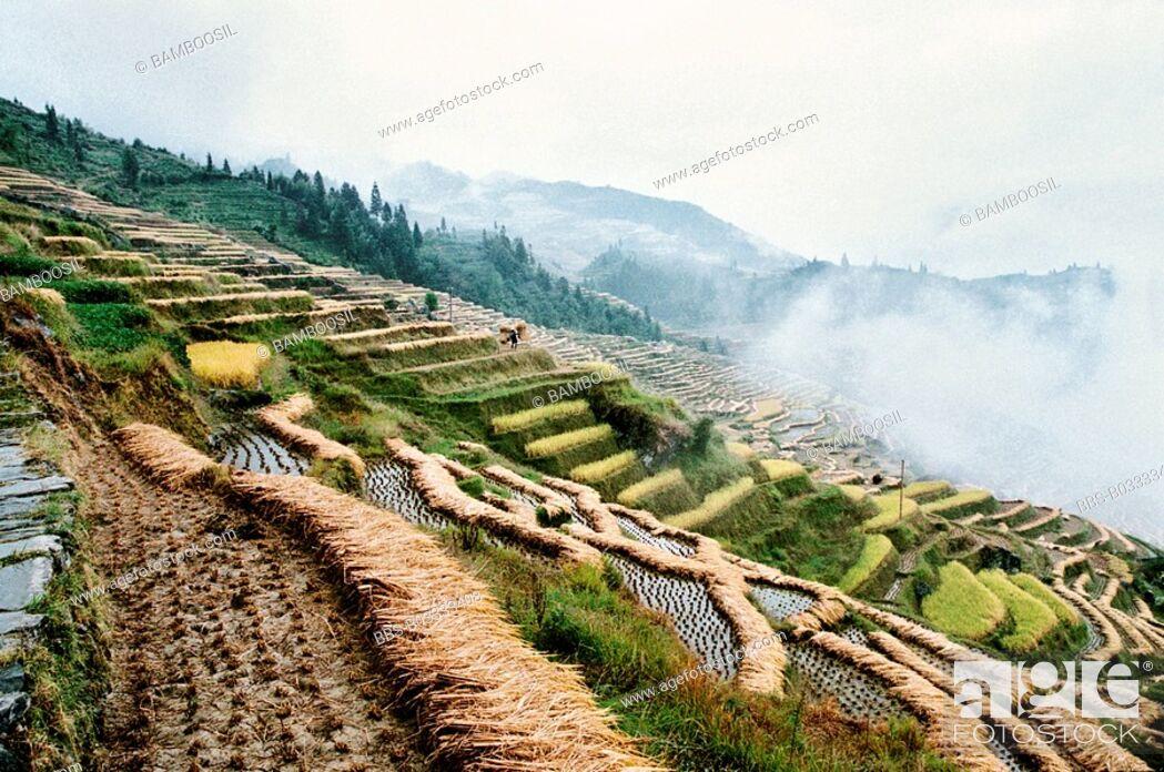 Imagen: The autumn harvest of terraced rice fields in Longji, Longsheng County, Guilin City, Guangxi Zhuang Nationality Autonomous Region of People's Republic of China.