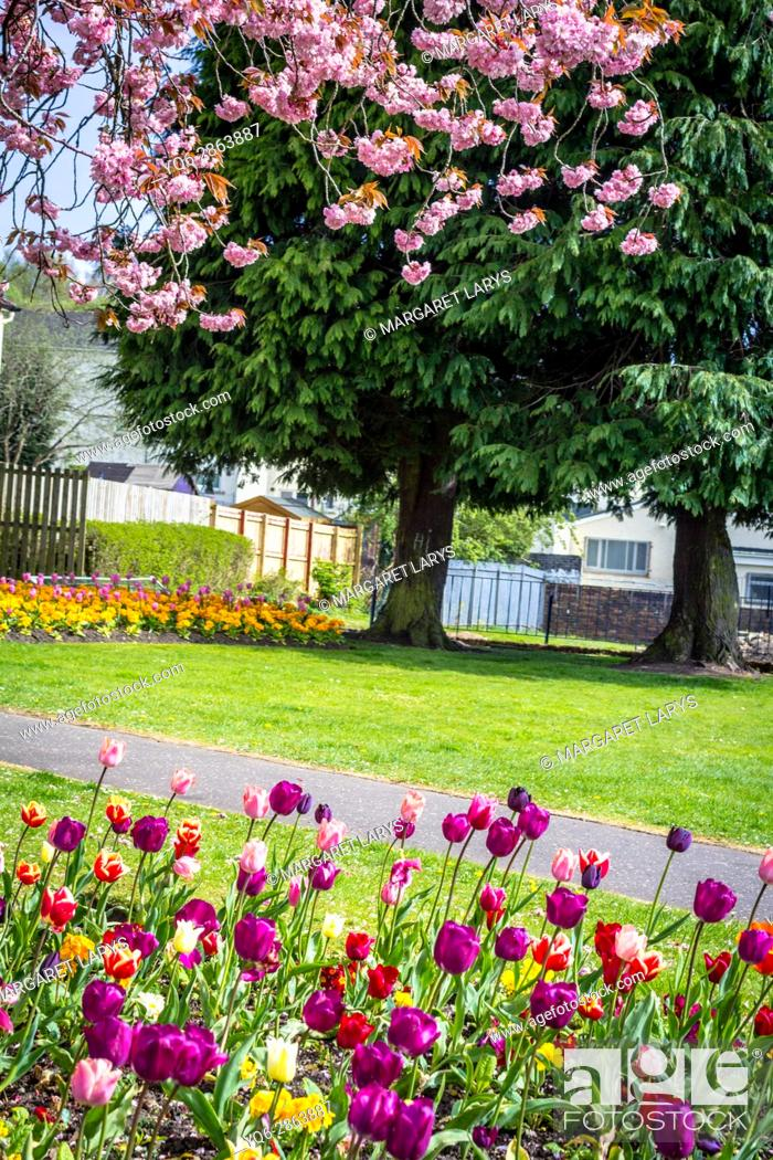 Stock Photo: Lennox Town, Scotland, United Kingdom, beautiful Weather. Japanese cherry trees in full blossom in May. These beautiful trees are blooming all over Scotland at.