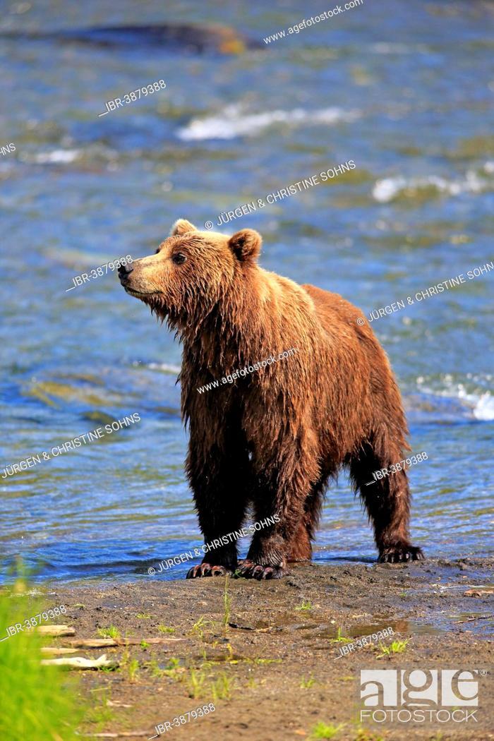 Photo de stock: Grizzly Bear (Ursus arctos horribilis) adult, waterfront, Booke River, Katmai National Park and Preserve, Alaska, United States.
