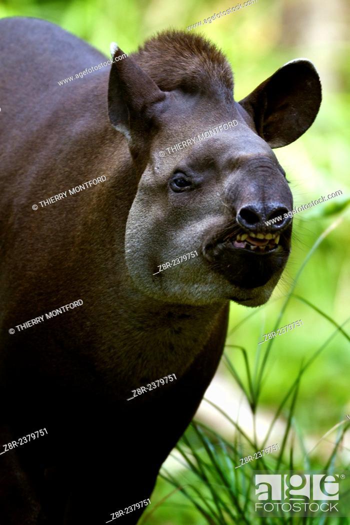 Stock Photo: Tapirus terrestris. Brazilian Tapir. French Guiana.
