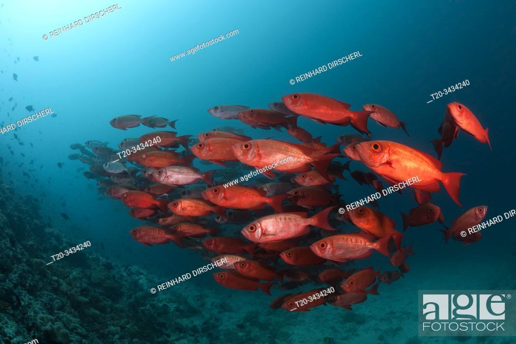 Stock Photo: Shoal of Crescent-tail Bigeye, Priacanthus hamrur, Ari Atoll, Indian Ocean, Maldives.