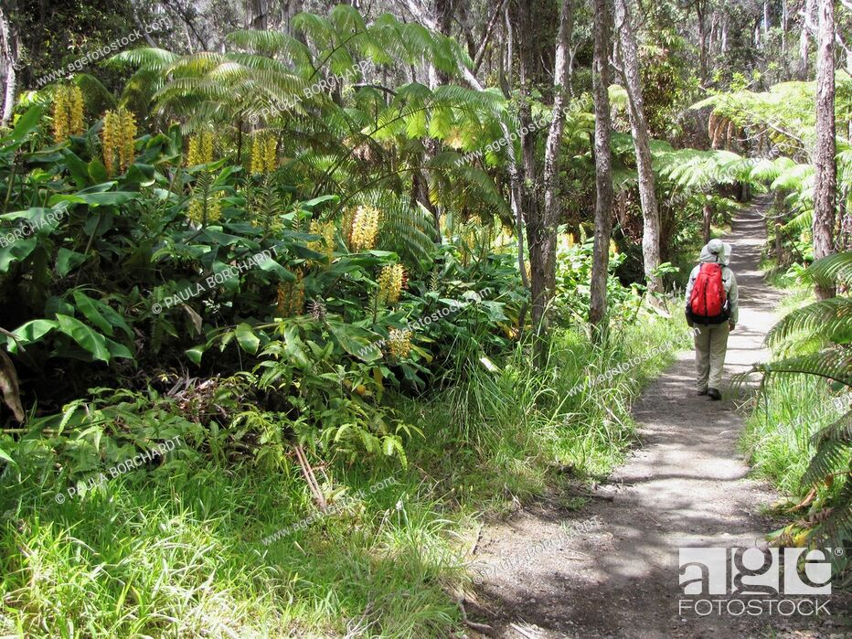 Stock Photo: Hiker, ferns, Kahili ginger invasive species, Kilauea Iki Trail, Hawaii Volcanoes National Park, Hawaii, USA.