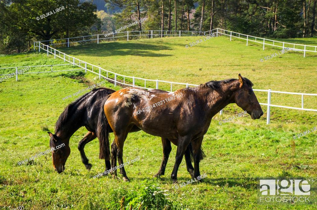 The Appaloosa A Horse Breed Best Known For Its Colorful Leopard Spotted Coat Pattern Foto De Stock Imagen Derechos Protegidos Pic Ckp F201410211682101 Agefotostock