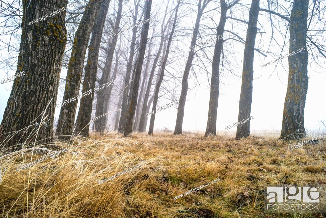 Stock Photo: Big Trees in fog. Forest and fog.