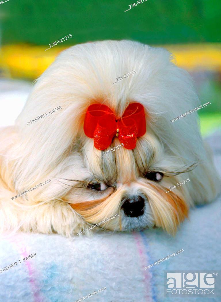 Stock Photo: Shih Tsu dog with red ribbon portrait.