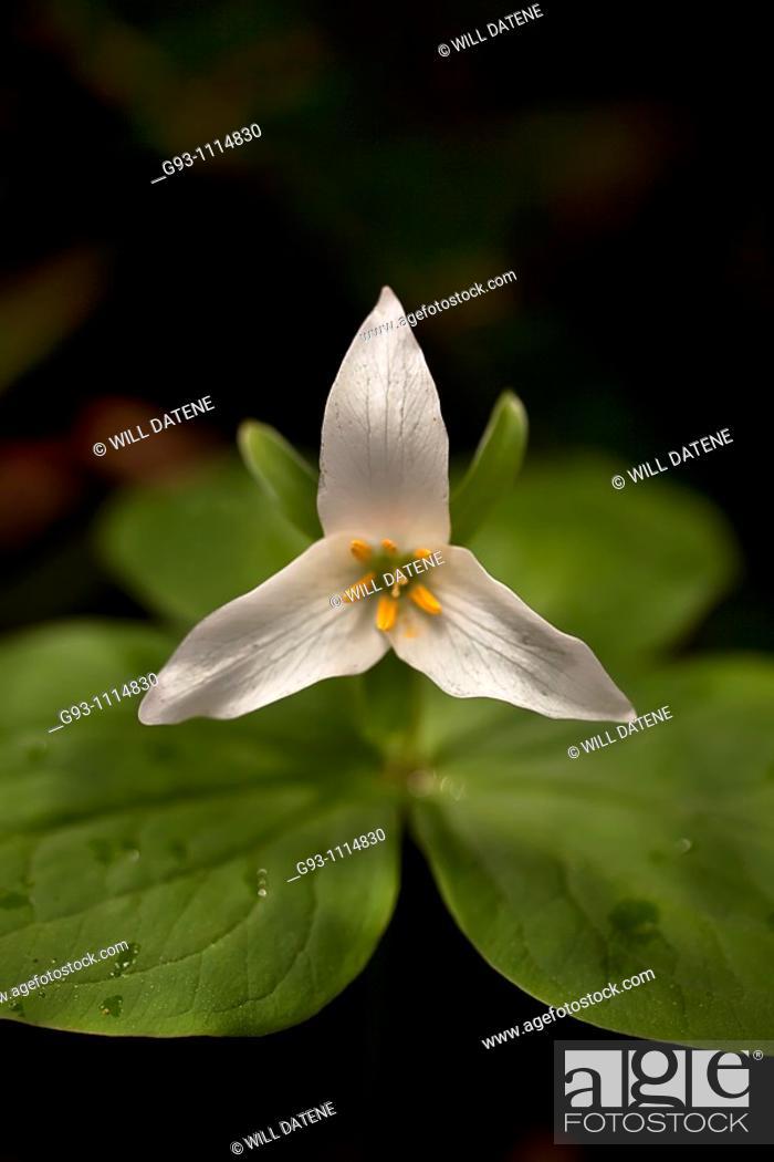 Stock Photo: white trillium.