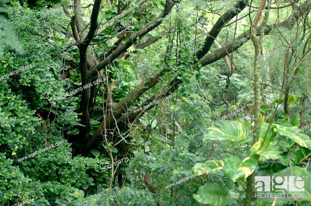Stock Photo: Jungle in Maui, Hawaii.