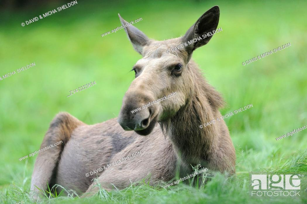 Stock Photo: Close-up of a Eurasian elk (Alces alces) in a forest in early summer.