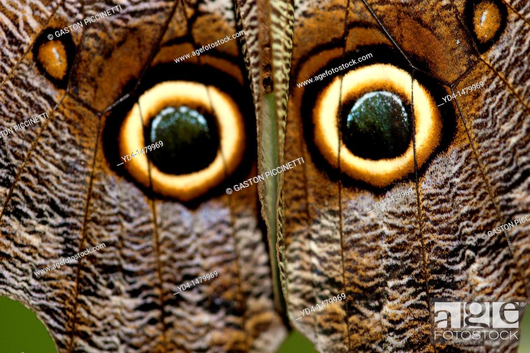 Stock Photo: Great Owl Caligo eurilochus, details of its wings, Costa Rica.