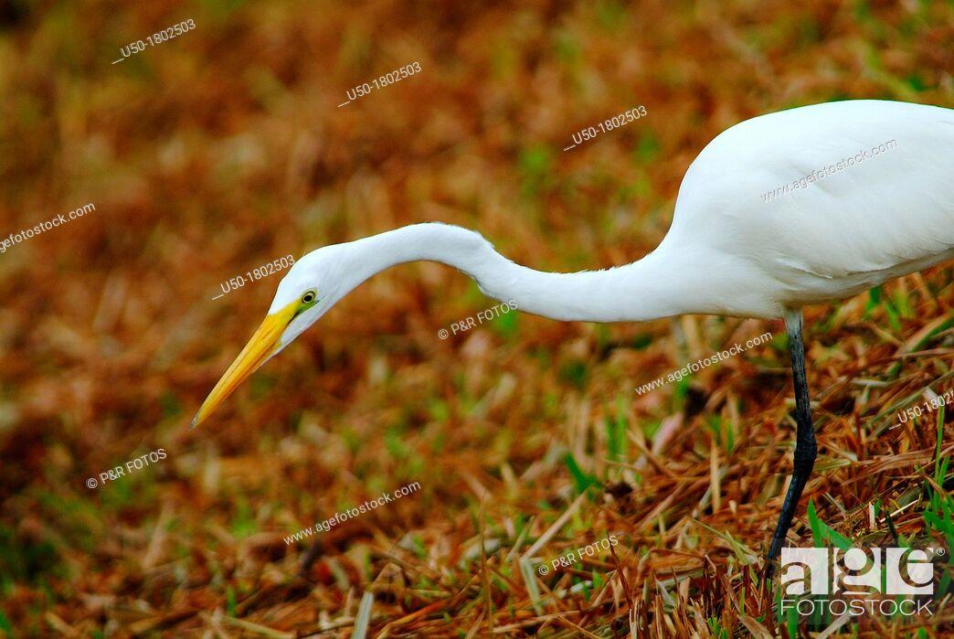 Stock Photo: Great egret , Ardea alba syn  Casmerodius albus, Ardeidae, Ciconiiformes   Bird 80 cm high.