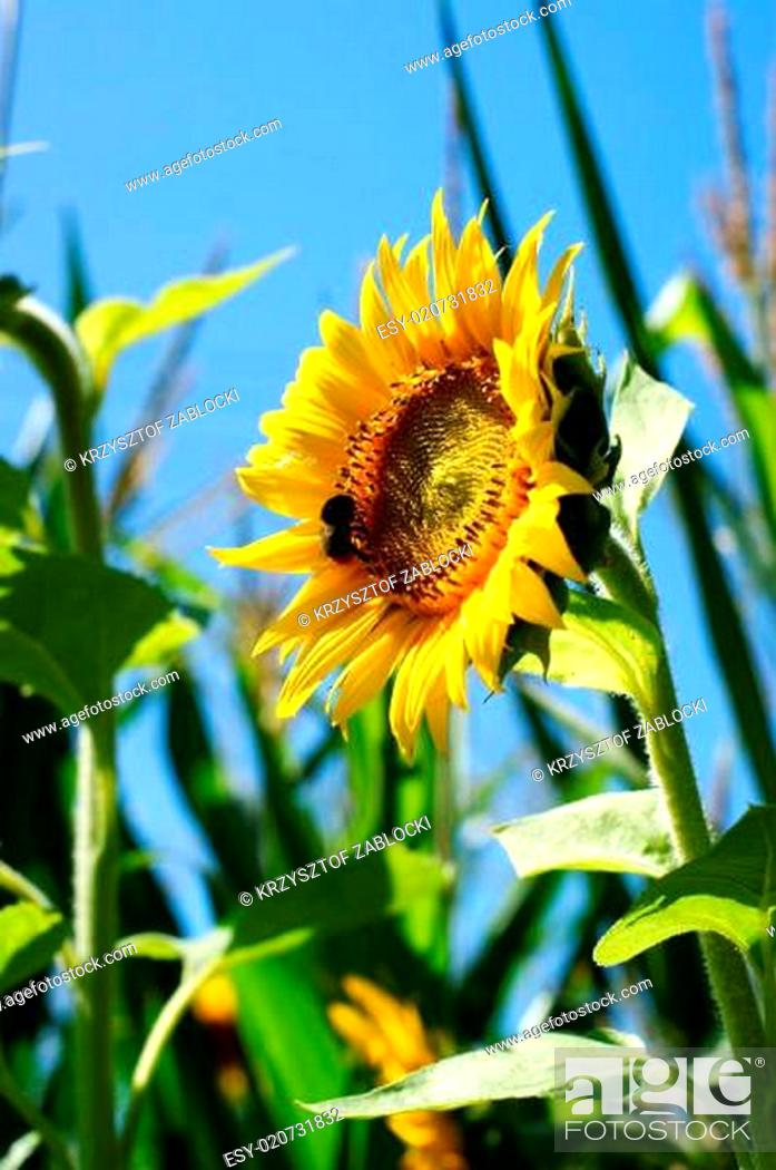 Stock Photo: Sunflower with a leaf - clear summer blue sky.