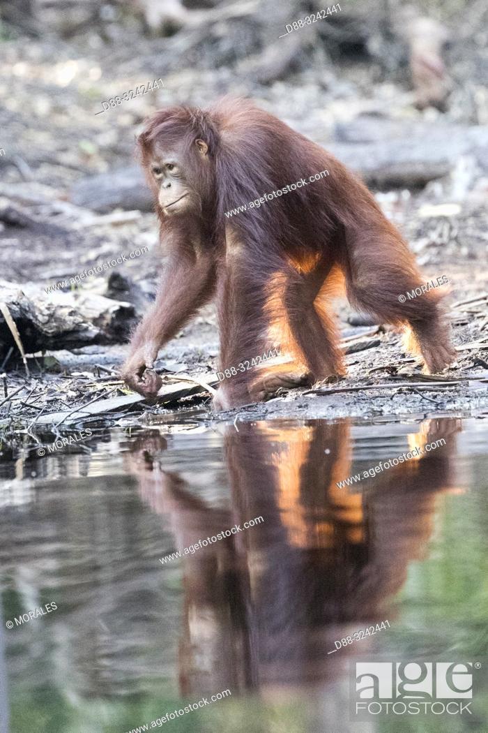 Stock Photo: Asia, Indonesia, Borneo, Tanjung Puting National Park, Bornean orangutan (Pongo pygmaeus pygmaeus), subadult.