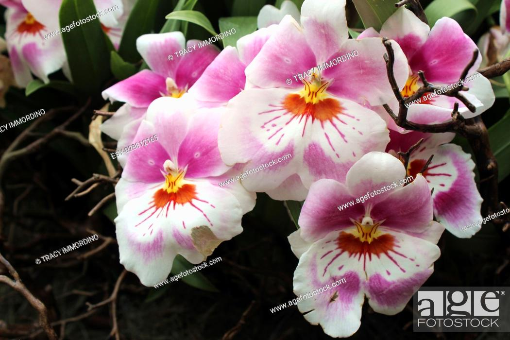 Stock Photo: Close up of a cluster of pink, white, orange and yellow Miltoniopsis orchid flowers in full bloom.