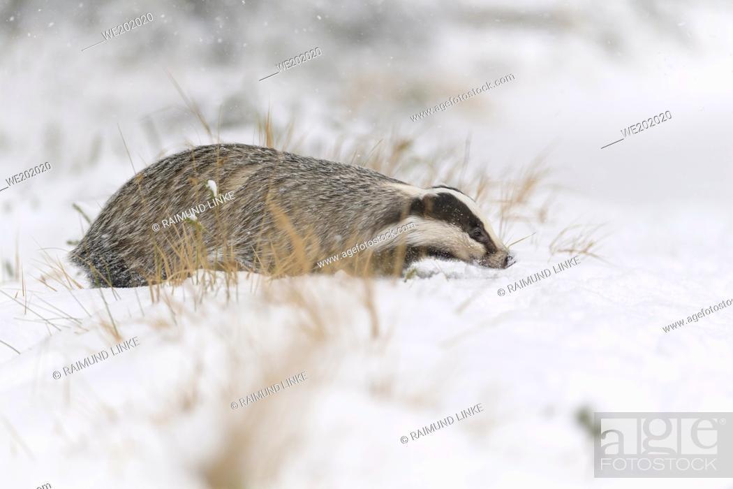 Imagen: Badger, Meles meles, in winter.