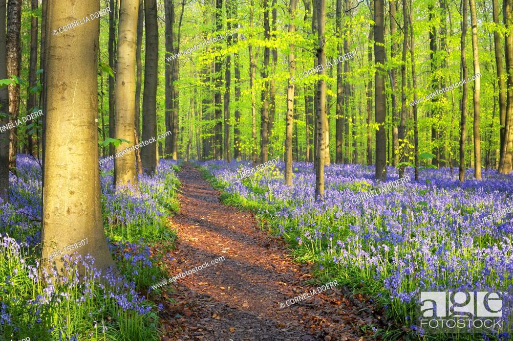 Stock Photo: Path through a carpet of Bluebells in European beech forest, bluebells Hyacinthoides non-scripta and European beech trees Fagus sylvatica, Hallerbos, Belgium.
