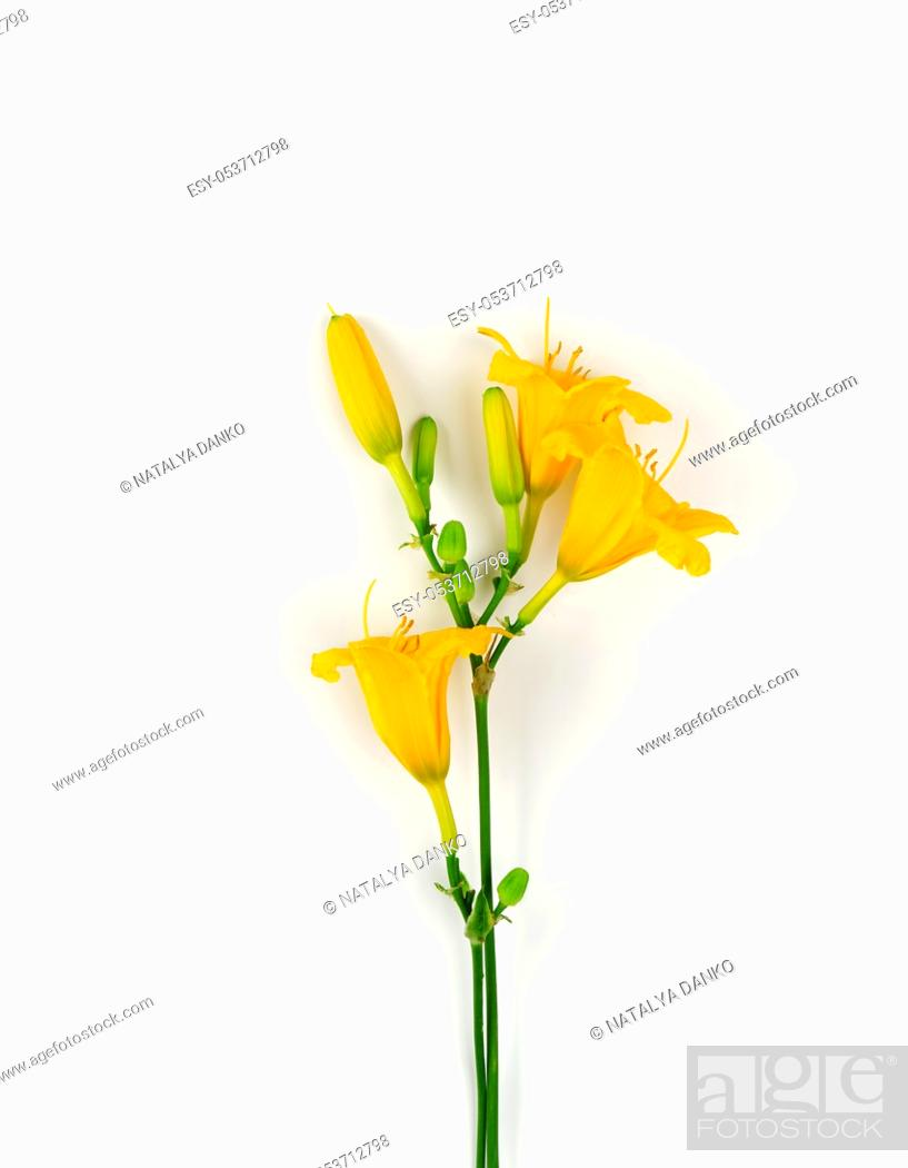 Stock Photo: yellow flowers Daylily on a white background, top view.