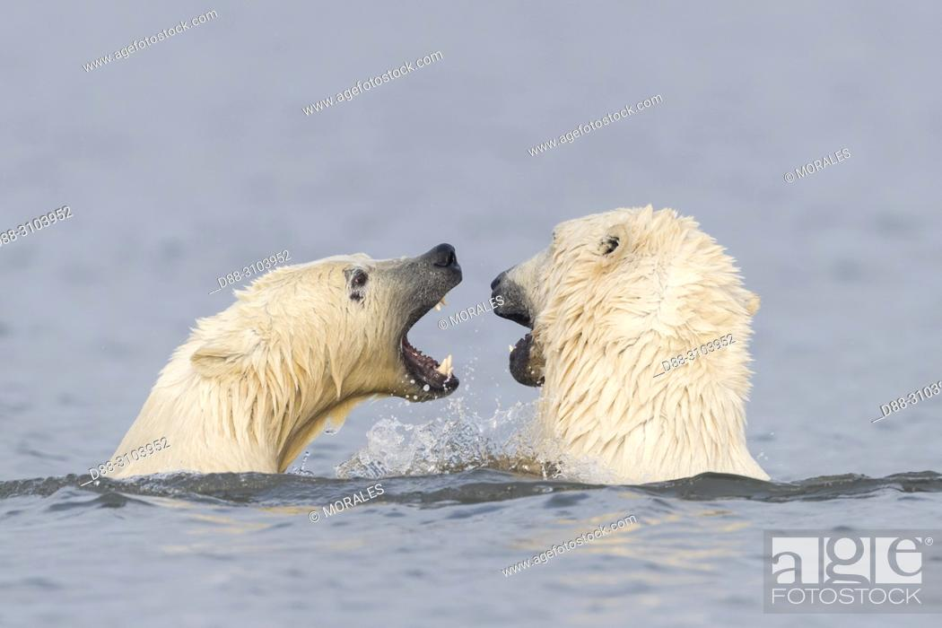 Stock Photo: United States, Alaska, Arctic National Wildlife Refuge Kaktovik, Polar Bear( Ursus maritimus ), along a barrier island outside Kaktovik, Alaska.