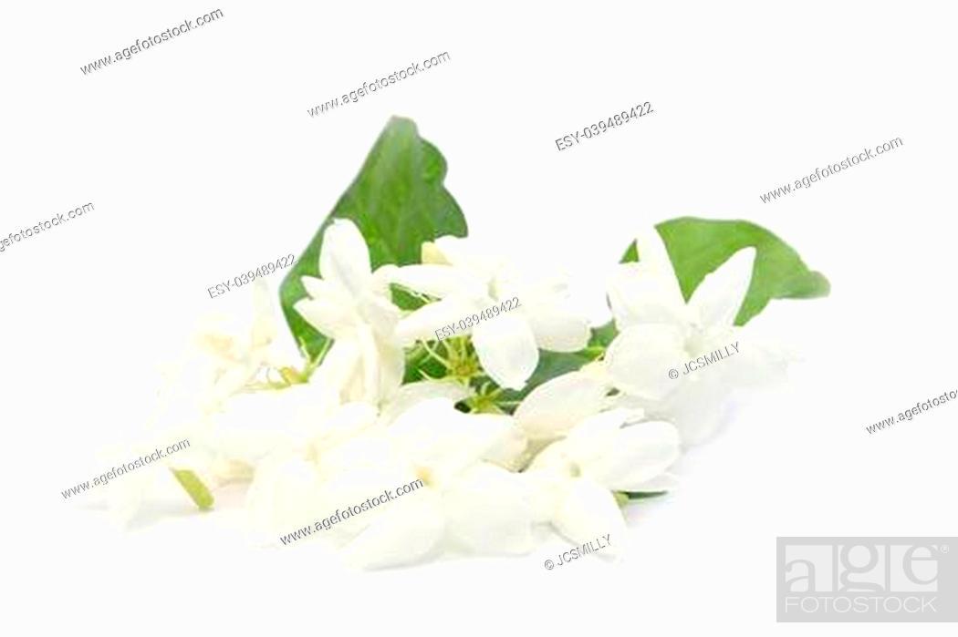 Stock Photo: JASMINE WHITE FLOWER ON WHITE BACKGROUND.