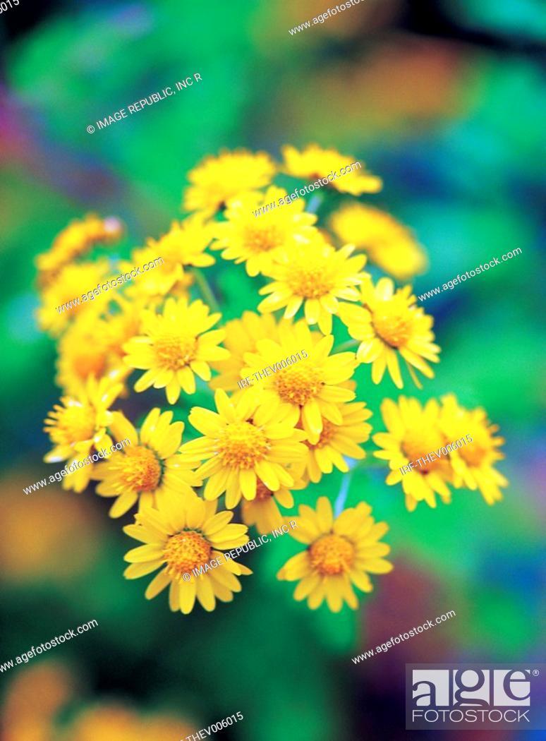 Stock Photo: flower, wild chrysanthemum.