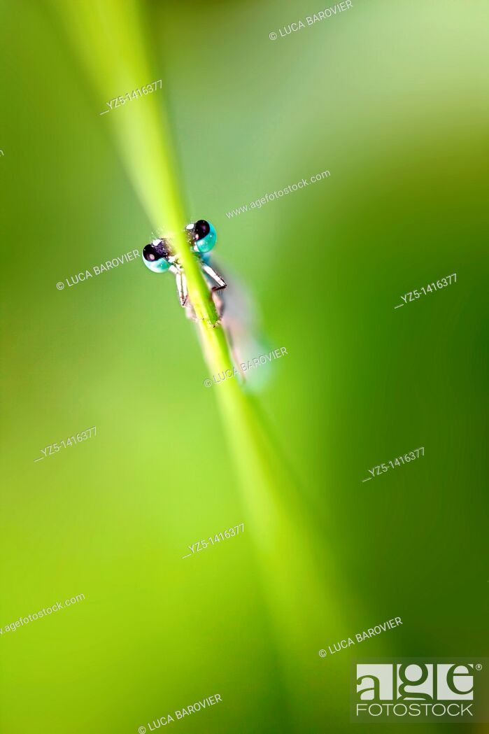 Stock Photo: Ischnura elegans - Blue tailed damselfly.