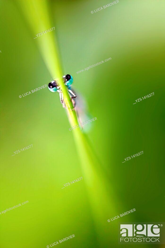 Stock Photo: Ischnura elegans - Blue tailed damselfly.