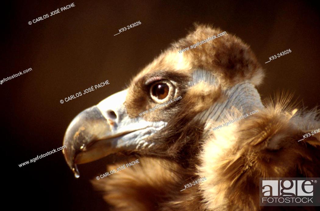 Stock Photo: Black Vulture (Aegypius monachus).