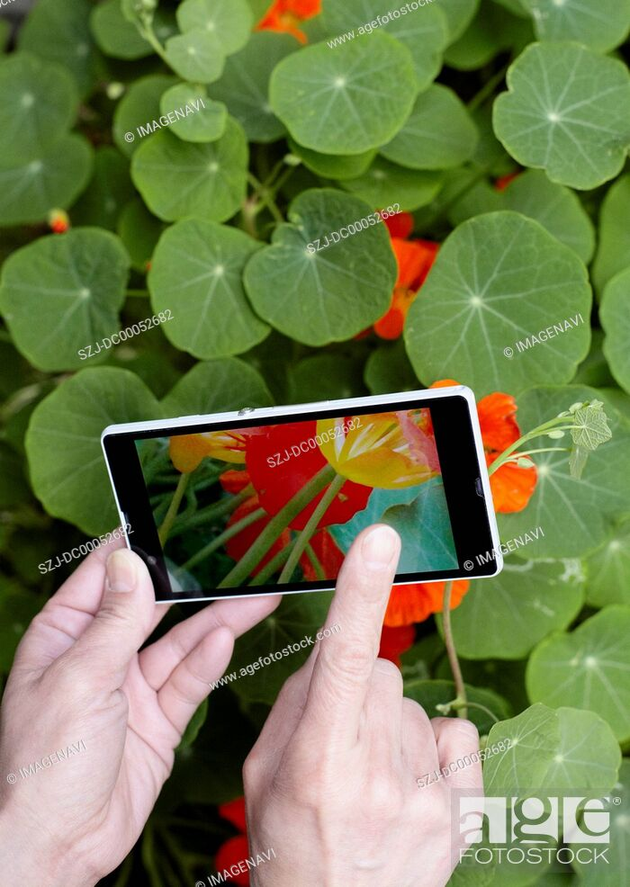 Stock Photo: Nasturtiums and hands holding a smartphone.