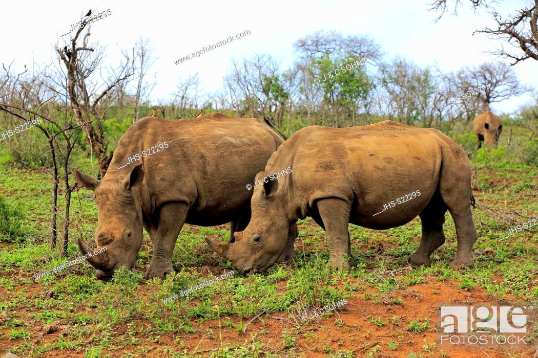 Stock Photo: White Rhinoceros, Square-Lipped Rhinoceros, (Ceratotherium simum), adults female with young feeding, searching for food, Hluhluwe Umfolozi Nationalpark.
