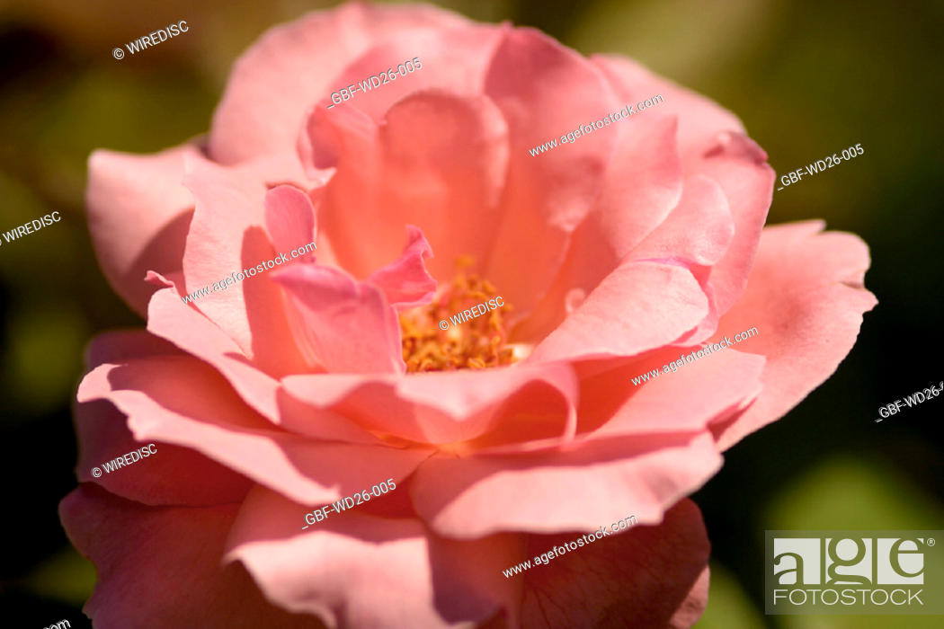 Stock Photo: Flowers, rose, nature.