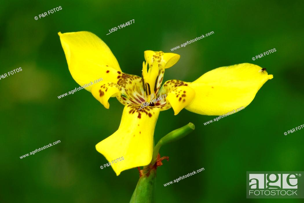 Stock Photo: Flower radially symmetrical with three parts (trimerous flower). Trimezia fosteriana, Iridaceae.