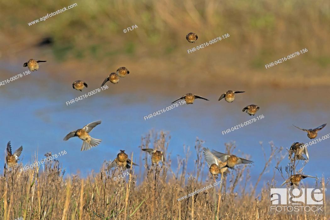 Stock Photo: Twite (Acanthis flavirostris) flock, non-breeding plumage, in flight, landing on plant seedheads in saltmarsh, Norfolk, England, January.