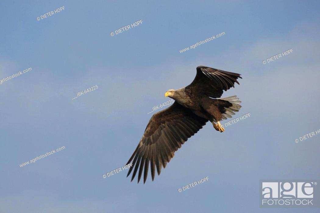 Stock Photo: White-tailed Eagle or Sea Eagle (Haliaeetus albicilla) flying.