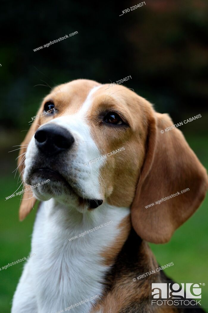 Stock Photo: Head shot of tricolor Beagle looking up, Berlin, Germany, Europe.