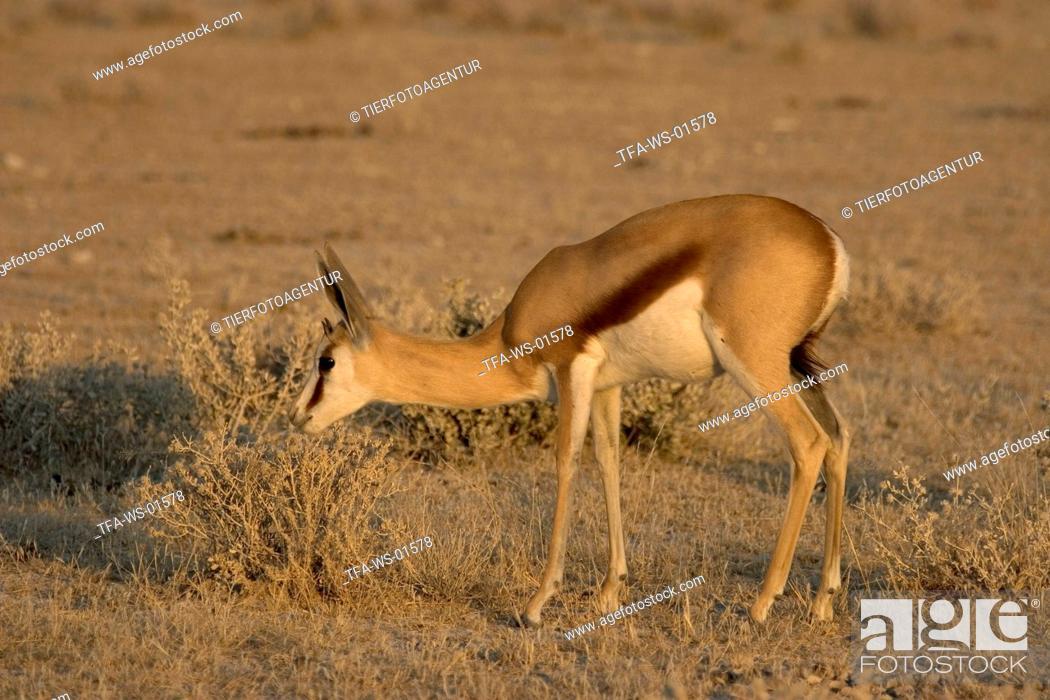 Stock Photo: Springbok.