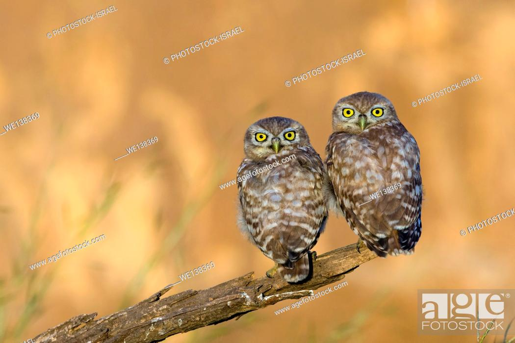 Stock Photo: Little owl (athene noctua) couple perched on a branch. At just 20 centimetres in height this owl is, as its name implies, one of the smallest of its kind.