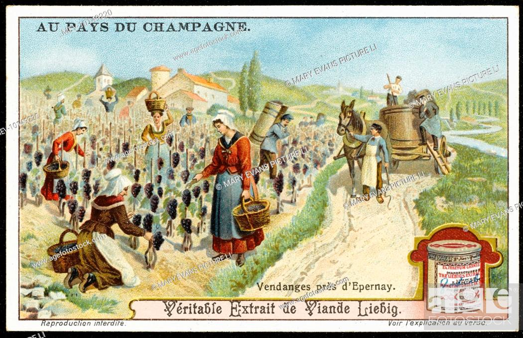 Imagen: The vendange - picking the grapes near Epernay. card 2 of 6.