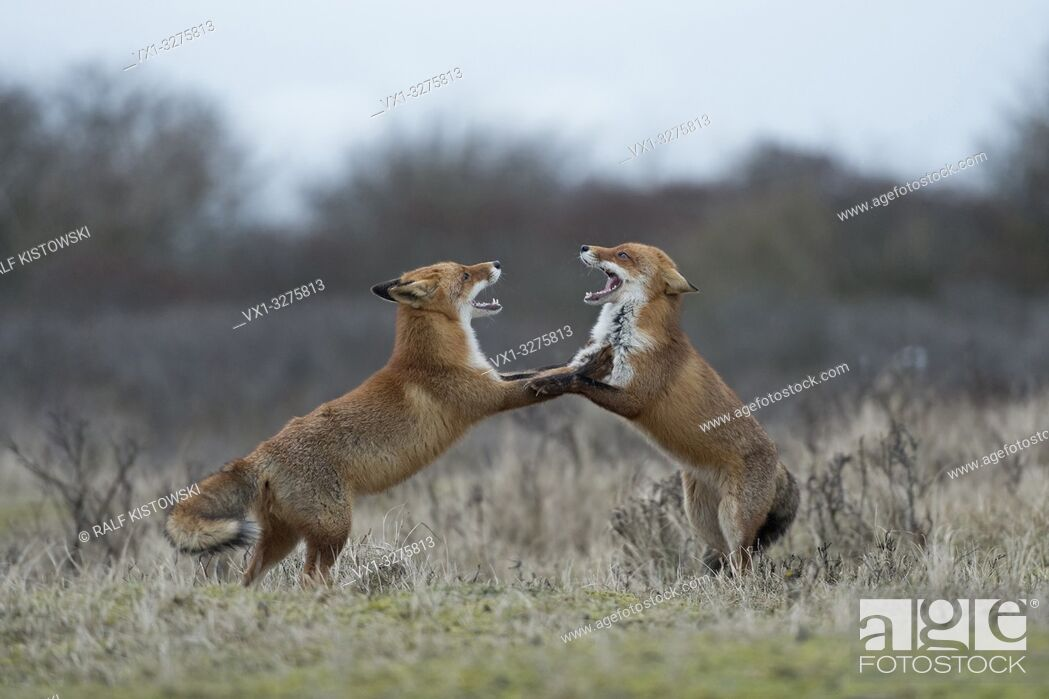 Stock Photo: Red Foxes ( Vulpes vulpes ) in fight, fighting, standing on hind legs, threatening with wide open jaws, while rutting season. .