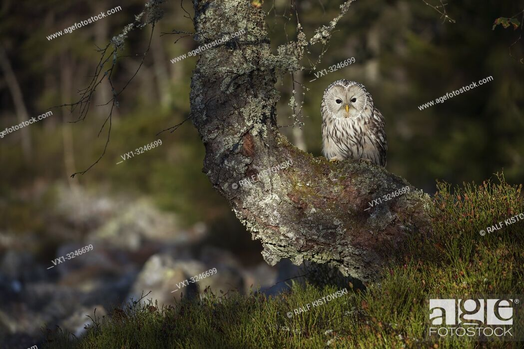 Stock Photo: Ural Owl / Habichtskauz ( Strix uralensis ) perched in an old tree at the edge of a boreal forest, nice surrounding, early morning sunlight. .