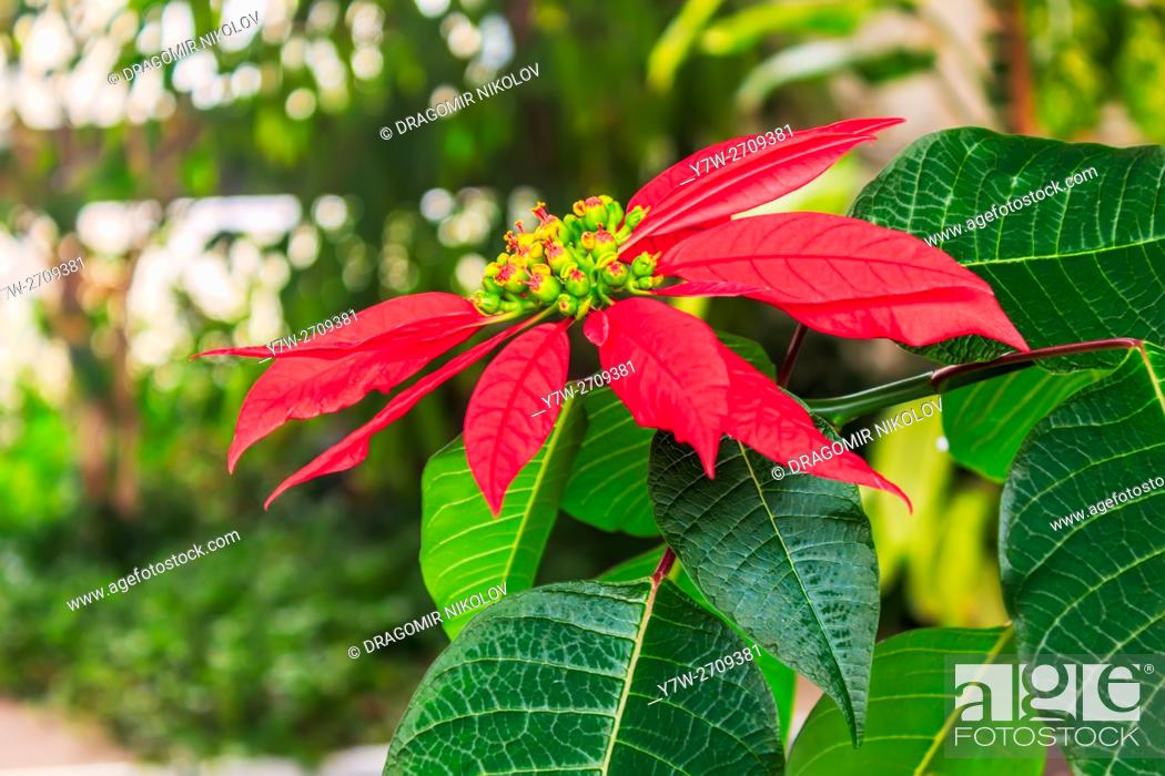 Stock Photo: Red poinsettia flower. The photo is taken in winter garden in domestic home in Sofia, capital of Bulgaria, Europe.