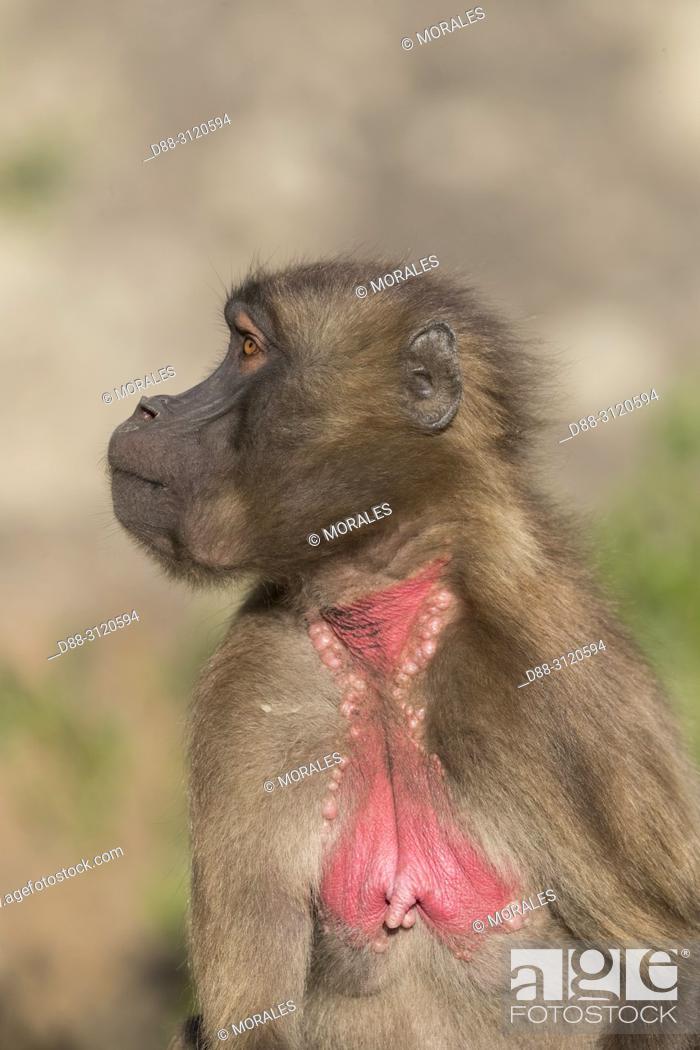 Stock Photo: Africa, Ethiopia, Rift Valley, Debre Libanos, Gelada or Gelada baboon (Theropithecus gelada), young male.