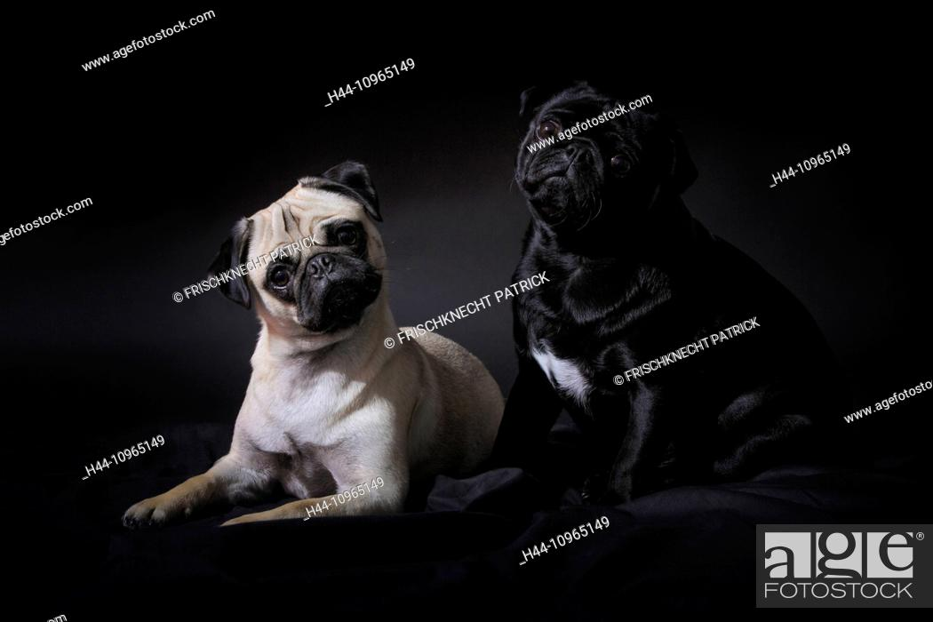 2 Domestic Animal Pet Dog Dogs Pugs Fatties Mops Pugs Fatties Pair Couple Portrait Stock Photo Picture And Rights Managed Image Pic H44 10965149 Agefotostock