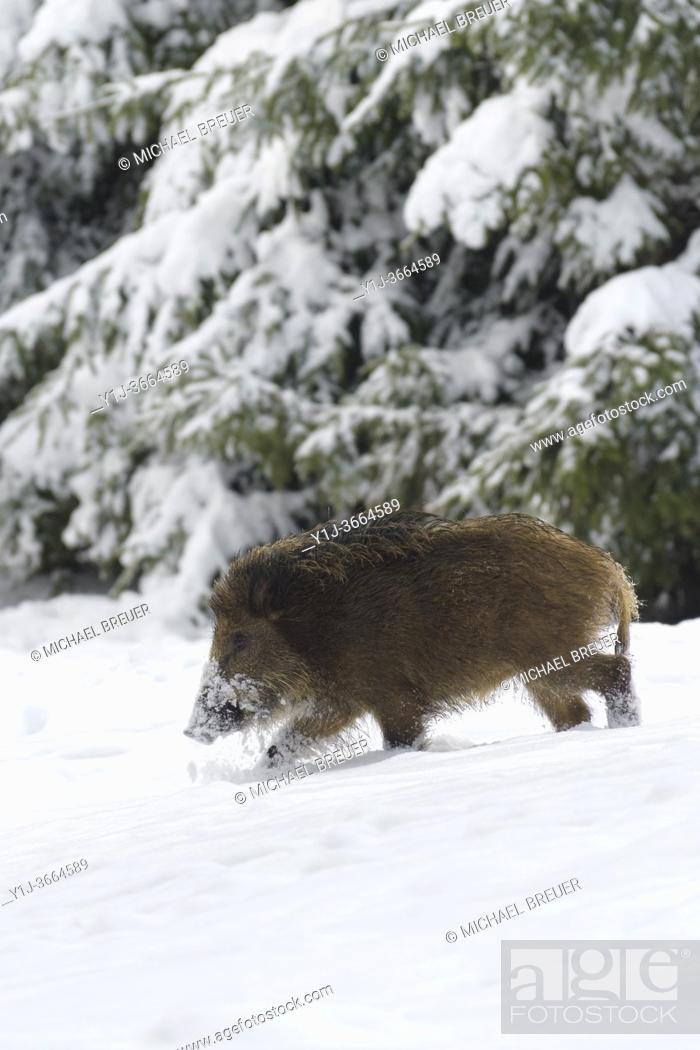 Stock Photo: Wild boar (Sus scrofa) in wintertime, Germany, Europe.